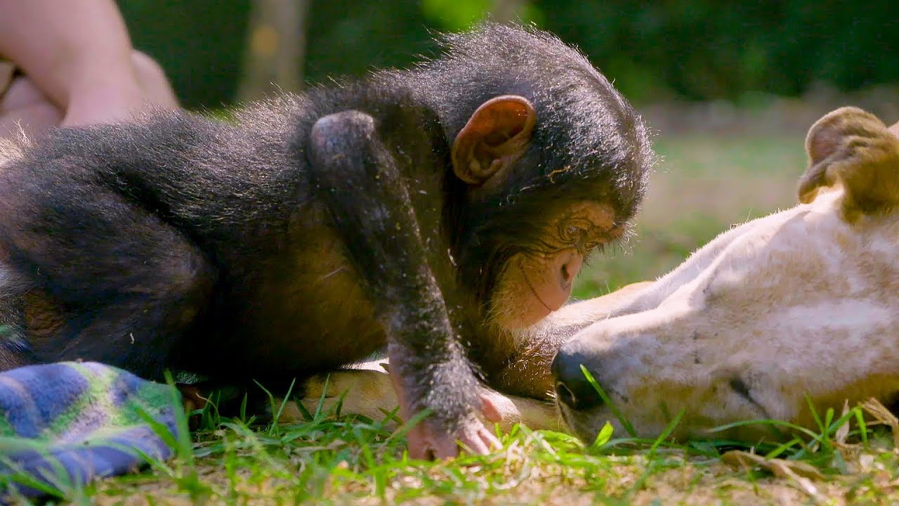"""BBC America to Air """"Baby Chimp Rescue"""""""